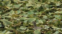 Night Heron and Waterlily Stock Footage