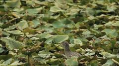 Night Heron and Waterlilies / Bihoreau gris / Nycticorax nycticorax Stock Footage