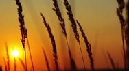 Wheat at dawn Stock Footage
