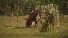 Cow Grazing - stock footage