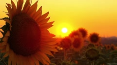 Flowering sunflowers on a background sunset Stock Footage