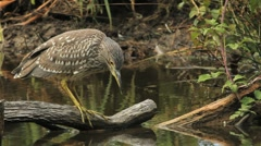 Young Night Heron - stock footage