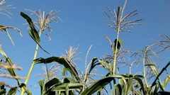 Tassels CloseUp, Corn Field in Summer, Full Grown, Research, Organic Stock Footage