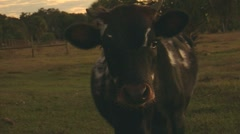 Sequence 15-cows - stock footage