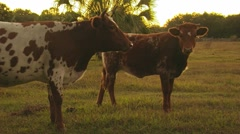 Grazing Cattle - stock footage