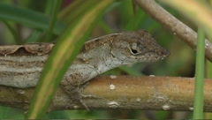 Brown anole Anolis sagrei Stock Footage
