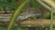 Stock Video Footage of brown anole Anolis sagrei