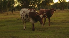 Cracker Cows - stock footage