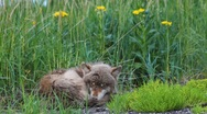 Stock Video Footage of Young Wolf Sleeps In Meadow