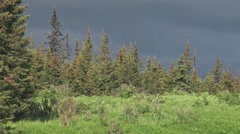 Moose on Stormy Forest Ridge Stock Footage