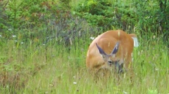 Female White Tailed Deer Feeding In Long Grass Canada Stock Footage