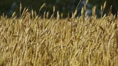 Field of rye 5 Stock Footage