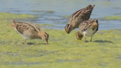 Common snipe - Gallinago gallinago Stock Footage