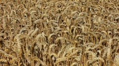 Track over a ripe farmland crop of golden wheat. Stock Footage