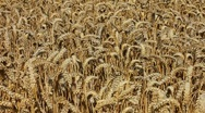 Stock Video Footage of Track over a ripe farmland crop of golden wheat.