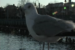 Seagull looking at camera - stock footage