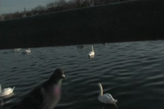 Pigeon walking in foreground of Swans - stock footage