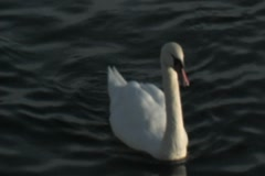 Swan wagging tail Stock Footage