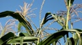 Corn Field in Summer, Full Grown, Research, Organic, Tassels CloseUp Footage