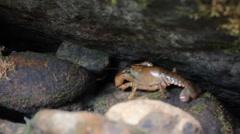 Large crawdad crawls between rocks creek Stock Footage