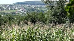 Corn Field in Summer, Full Grown, Research, Organic, Tassels CloseUp Stock Footage