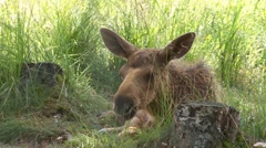 Baby moose Stock Footage