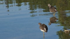 Sandpipers preening in shallows Stock Footage