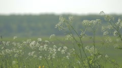 Cow Parsley Stock Footage
