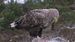 White Tailed Eagle - stock footage