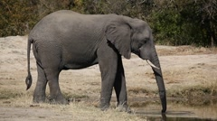 African elephant drinking Stock Footage