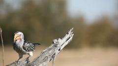 Yellow-billed hornbill Stock Footage
