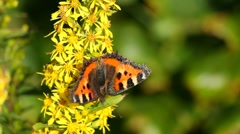 Small Tortoiseshell (Nymphalis urticae) butterfly Stock Footage