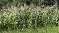 Corn Field in Summer, Full Grown, Research, Organic, Tassels CloseUp HD Footage