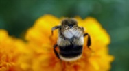 Bumble bee collects nectar in yellow flowers at summer herb garden Stock Footage