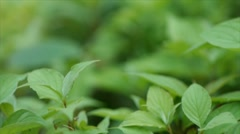 Green leaves of bush in city summer park. Stock Footage
