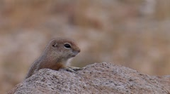 White-tailed Antelope Squirrel 2 Stock Footage