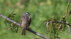 White-crowned Sparrow 2 Stock Footage