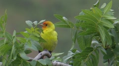 Western Tanager 1 Stock Footage