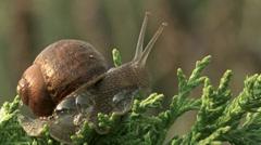 Garden Snail 1 Stock Footage