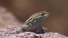 Side-bloched Lizard 1 Stock Footage