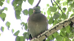Wild Pigeon close-up Stock Footage