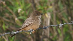 Say's Phoebe 3 Stock Footage