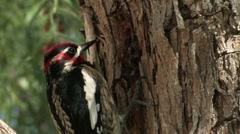 Red-naped Sapsucker 2 Stock Footage