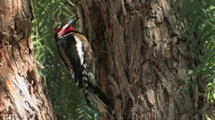 Red-naped Sapsucker 1 Stock Footage