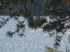 Rippled lake visible through the pine branches. Wonderful view. Stock Footage