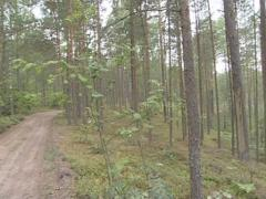 Road in a pine forest. A lot of pines and their cone. Moss. Stock Footage
