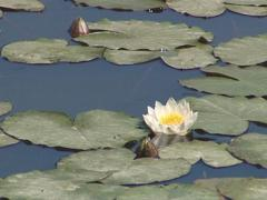 Blooming water lilies and their leaves in the lake. Water flora. Stock Footage