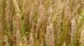 Golden Wheat Field 04 HD Footage