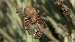 Orb Spider 1 Stock Footage