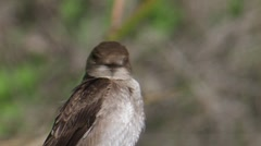 Northern Rough-winged Swallow 2 Stock Footage